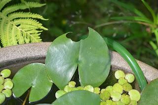 虫に食べられた睡蓮の葉