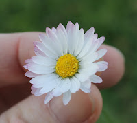 Swedish daisy