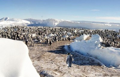 Emperor penguins have recently abandoned their major breeding site in  Antarctica because of sea ice that has become too unstable in the region