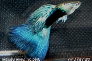 Half Black Blue Bicolor AOC