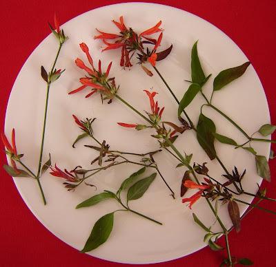 Canario rojo Dicliptera tweediana
