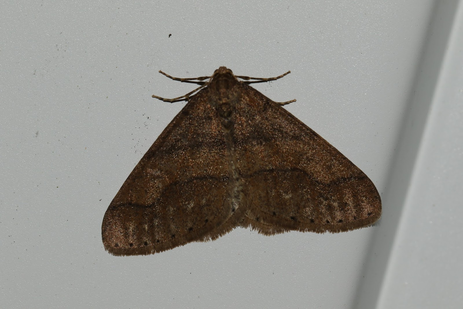 First Moth Of The Year On Garage Door Thing And Still At Lunch Time Despite Snow