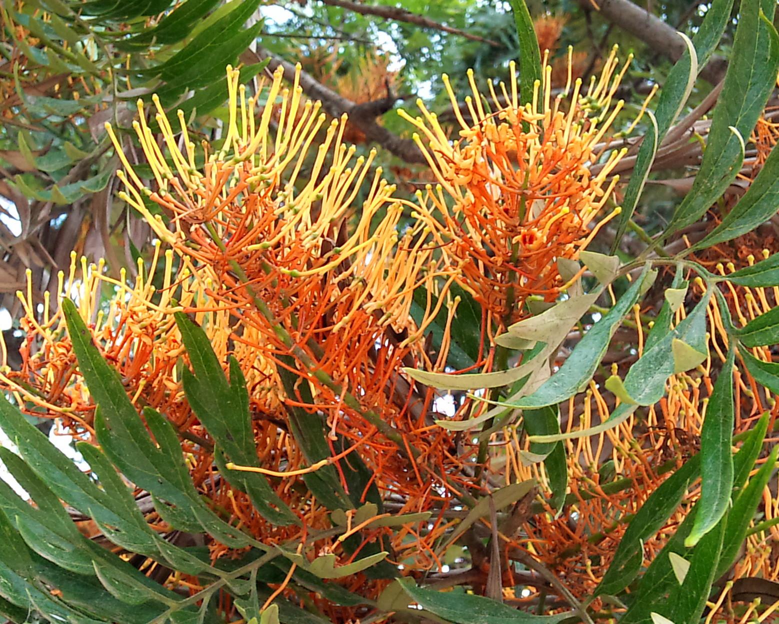 Rboles con alma roble australiano grevillea robusta for Arboles crecimiento rapido hoja perenne
