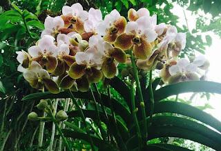 Grow and care Vanda sanderiana orchid - Sanders Vanda - Waling-Waling