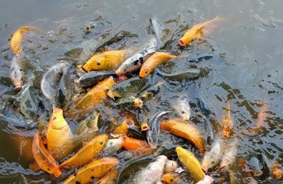 cara budidaya ikan mas di kolam terpal pdf,pemijahan ikan nila di kolam terpal,hias,cupang,molly,