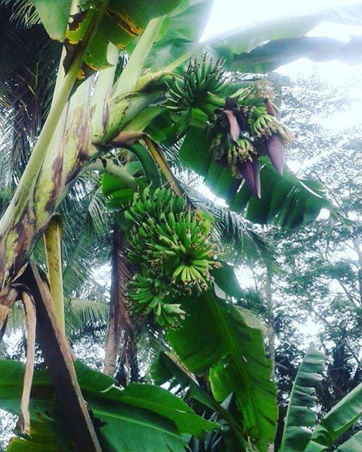 Foto: Pohon Pisang Bertandan 4 di Buayan