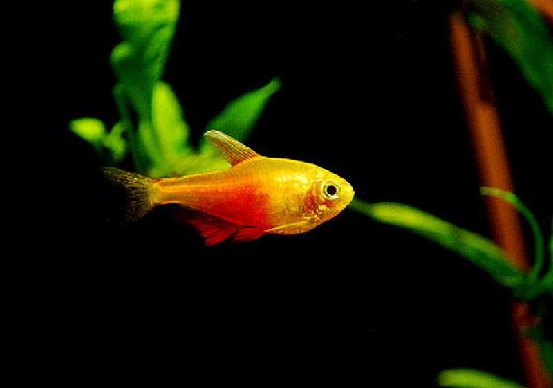makanan ikan neon tetra