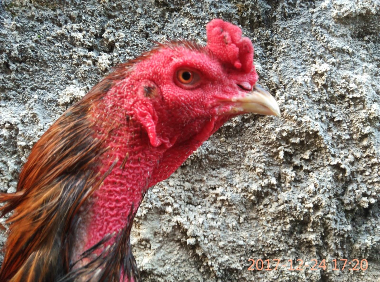 Jual Ayam Bangkok Menangan 2018