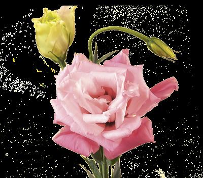 hoa cát tường đẹp nhất 4