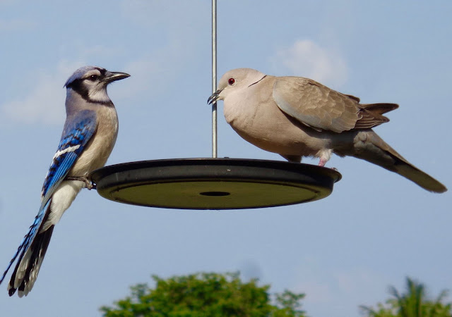 Blue Jay and Collared Dove