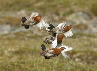 Willow Ptarmigan flock, Newfoundland
