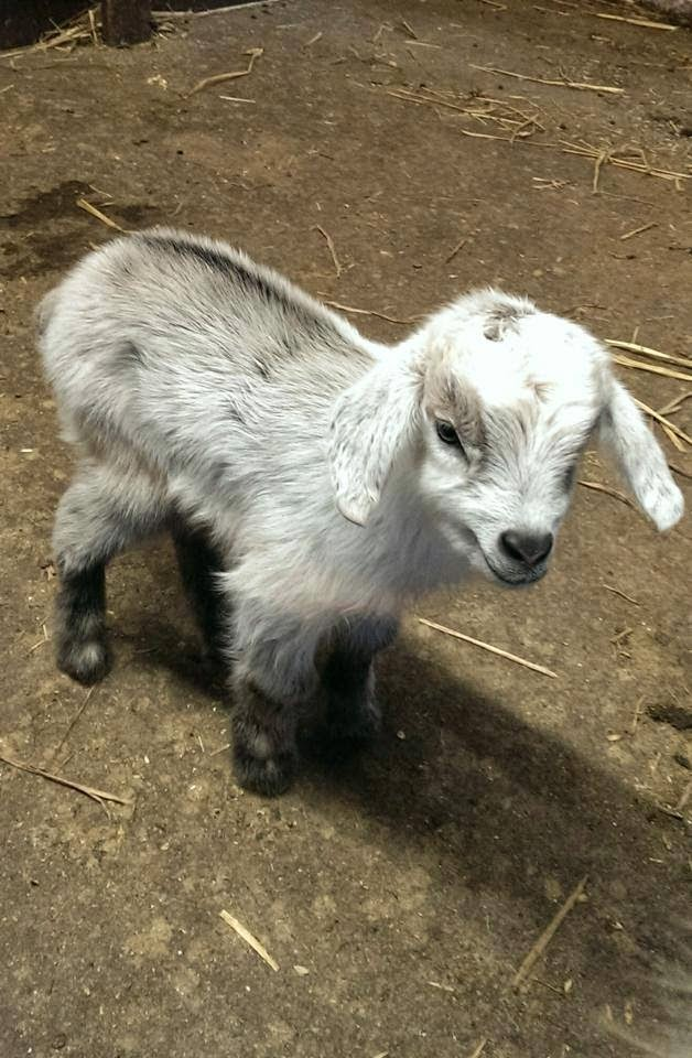 pygmy goat kid at Woodside Animal Park, Slip End