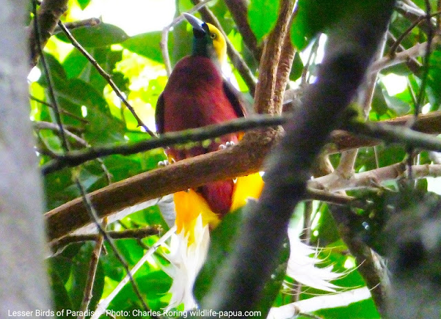 Birding with Charles Roring in West Papua