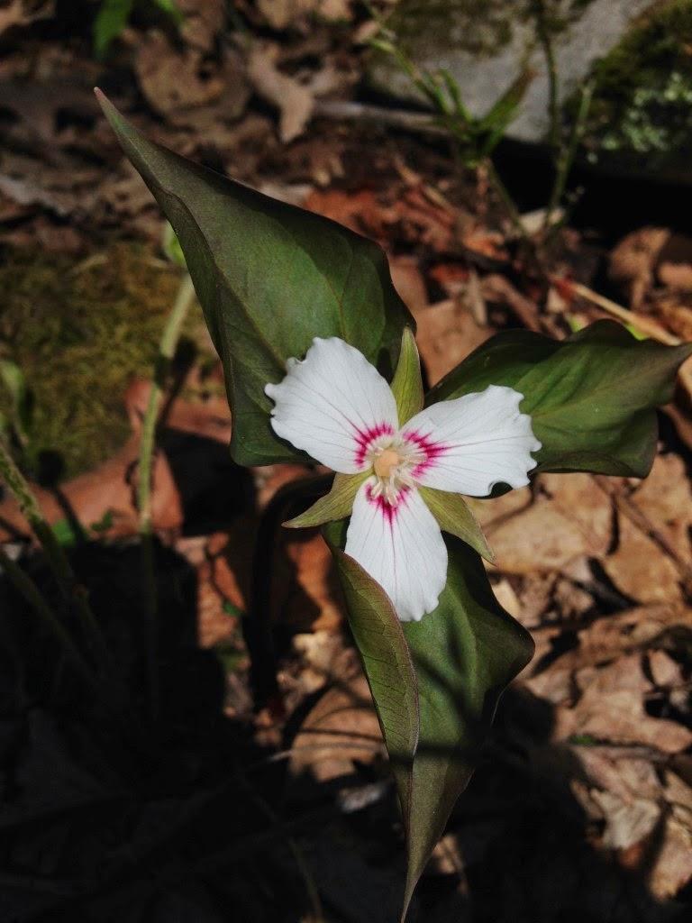 west virginia native wildflowers