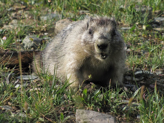 The Most Beautiful Of Glacier National Park Animal | National Park