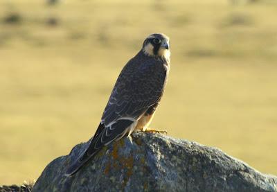 rapaces de Argentina Halcón aplomado Falco femoralis