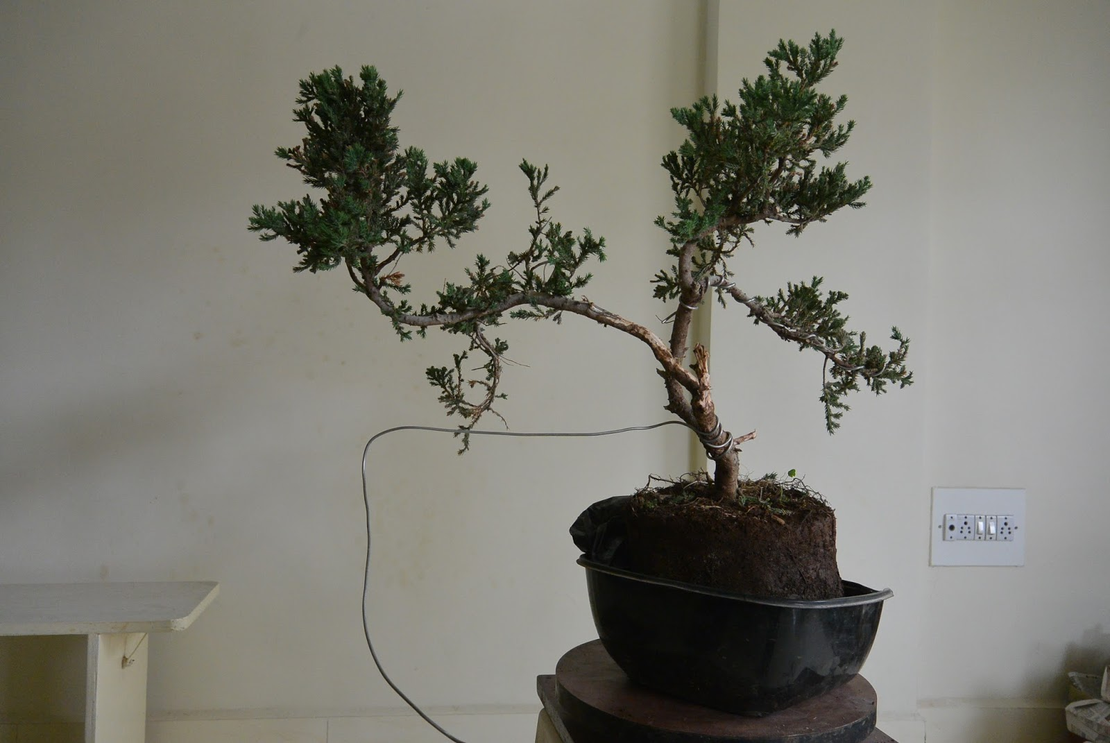 kapilaascreations bonsai wiring rh kapilaas com Japanese Bonsai Trees Japanese Bonsai Trees