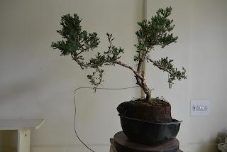 bonsai shaping and wiring