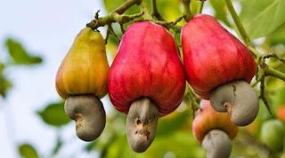 Εσείς ξέρατε πώς φυτρώνουν τα κάσιους;