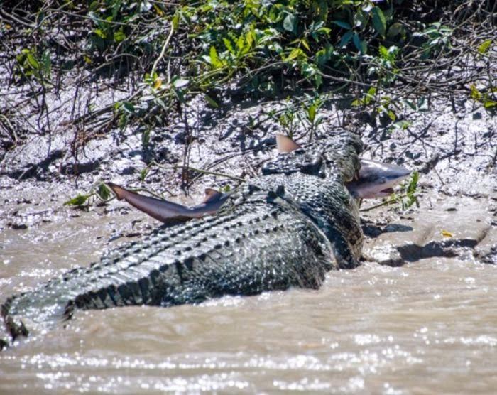 Alligator vs shark attacks - photo#29