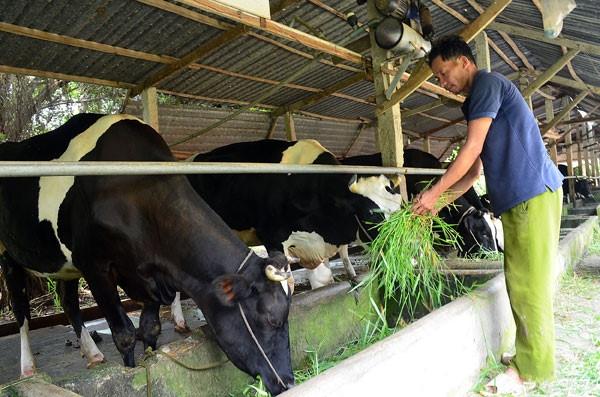 Hộ chăn nuôi bò sữa tại Củ Chi. Ảnh minh họa