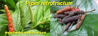 Herballife use Piper Retrofractum