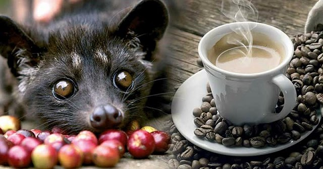 O café mais caro do mundo e o terror por trás da sua produção - Saber Atualizado