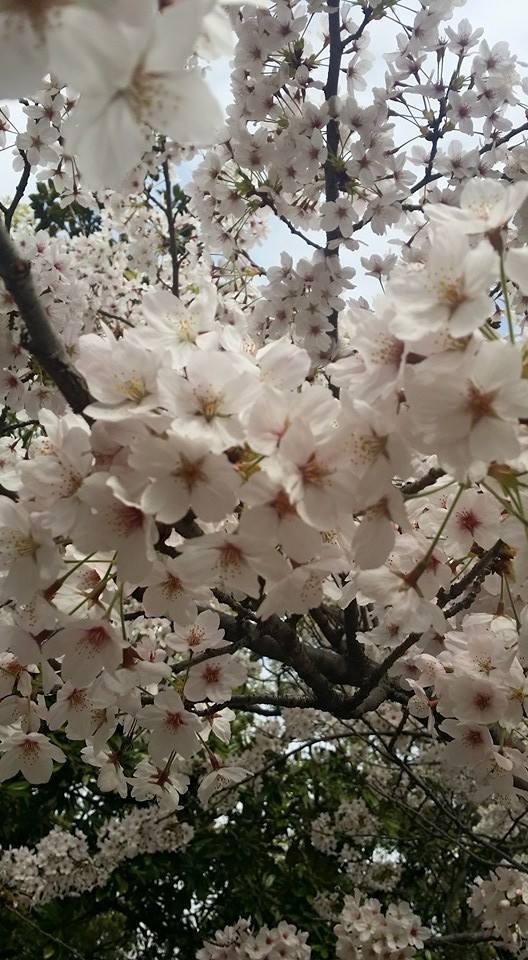 Bunga sakura yang putih suci
