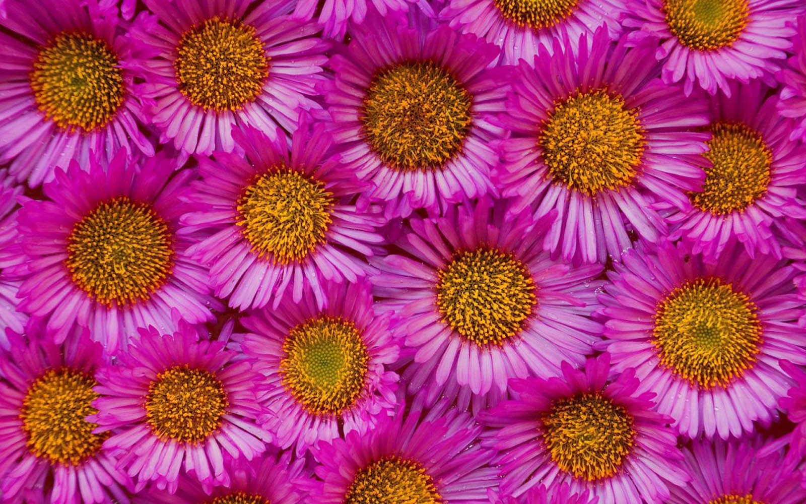 XS Wallpapers HD: Aster Flowers Wallpapers