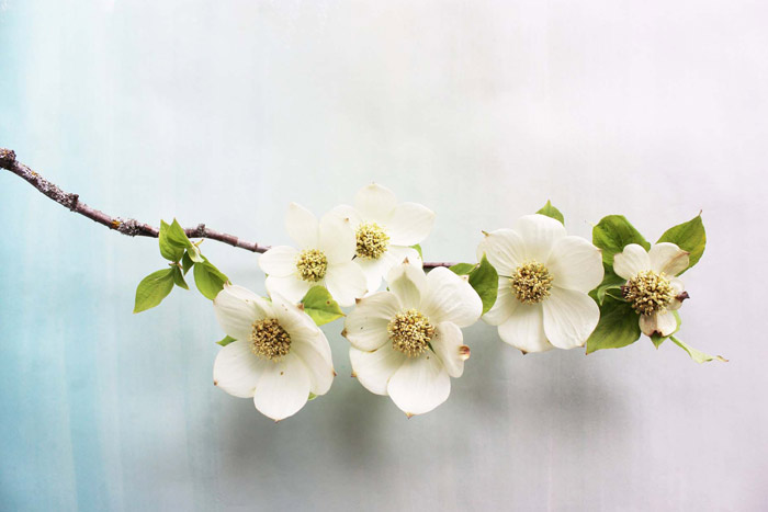 dogwood flower wallpaper