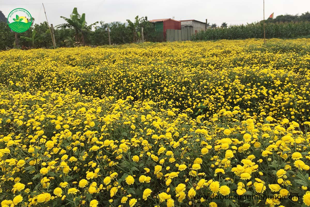 Cúc hoa vàng khoe sắc vàng rực cà vùng dược liệu