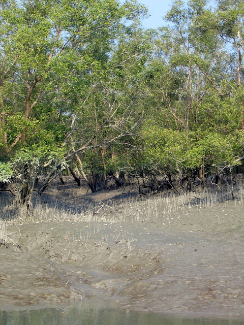 the-mangrove-forest-of-Bangladesh-is-Sundarban