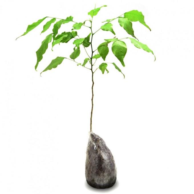 Penghijauan Lingkungan, Koramil 15/Sepatan Tanam Pohon Angsana