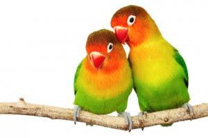 lovebird kacamata nyasa