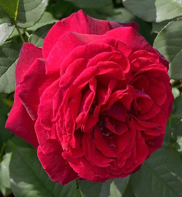 Gospel сорт розы фото