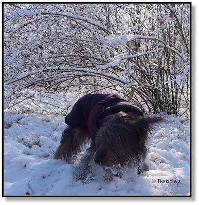 Hund kämpft sich durch den Schnee