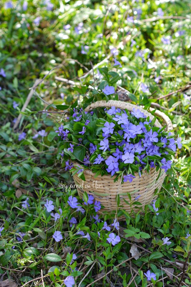 cos cu flori mov de primavara sachiu toporasi spring basket violet lila flowers