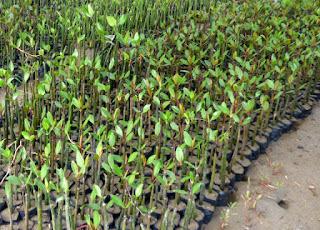 Bibit mangrove siap tanam