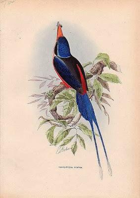 Martín pescador del paraíso de pecho rojo Tanysiptera nympha