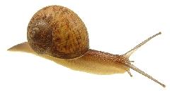 Caracol (Helix aspersa)
