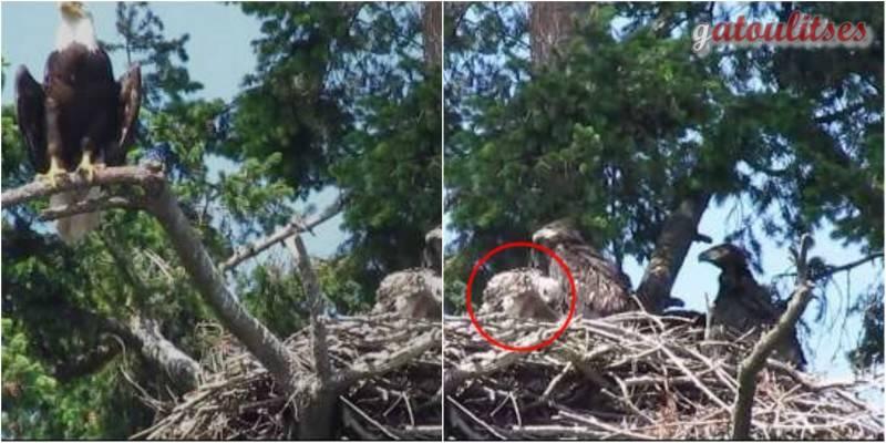 Οικογένεια άγριων φαλακρών αετών στον Καναδά υιοθέτησαν ένα μικρό γεράκι! (βίντεο)