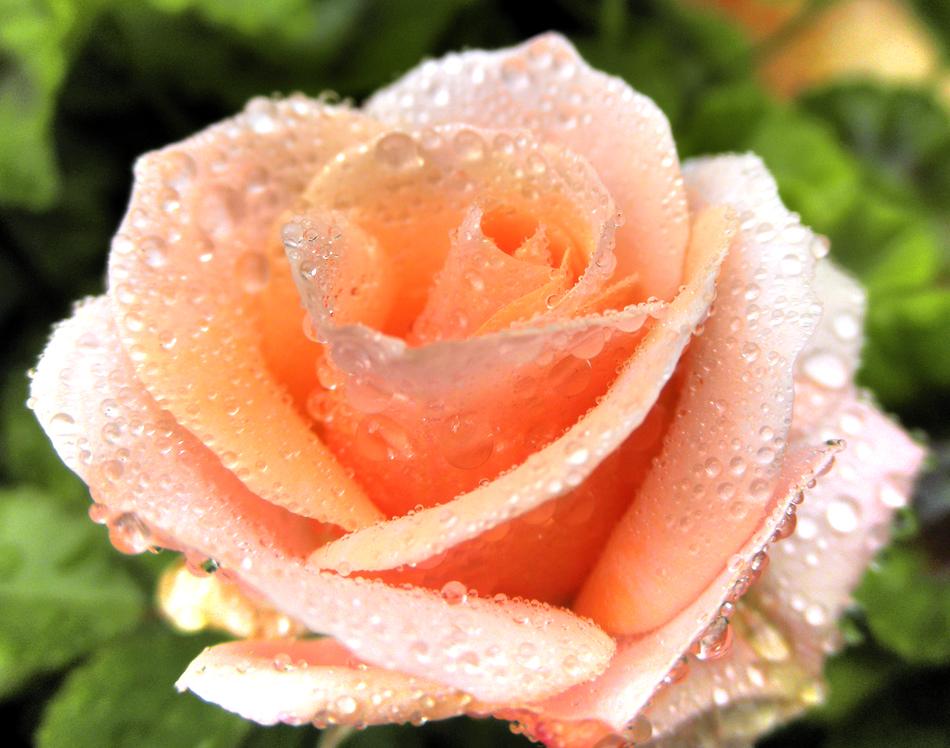 rosa  de pitimini