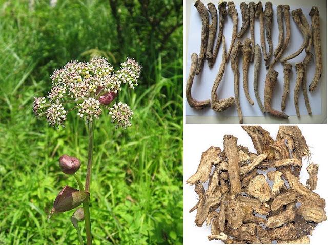 Hoa và củ Tiền Hồ - Peucedanum decursivum - Nguyên liệu làm thuốc Chữa Cảm Sốt