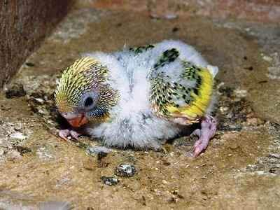 pengaruh trah lovebird sebagai gacoan