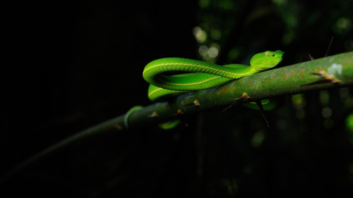 Wallpaper: Asian Pit Viper