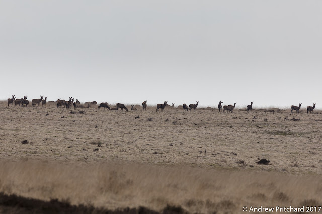 An area of flattened or cut grass is occupied by grazing deer.