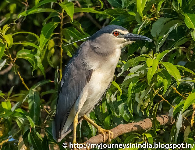 Ranganathittu Birds Night Heron