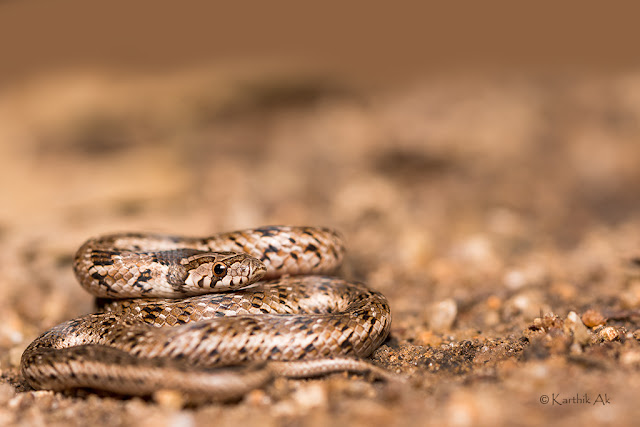 A snake was cut into three pieces when a 200-year-old Banyan tree was chopped in Bangalore recently.  Though media reports  said the snake was a cobra, experts identified it as a harmless Russell's kukri, commonly found in India. . The snake which was living inside the trunk was severed into pieces. As a grainy video shows it came out in pieces, still alive and writhing in pain.