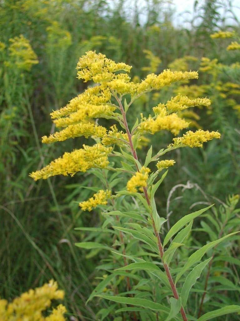 Planting Goldenrod In The Garden: Flowers For Flower Lovers.: Golden Rod Flowers