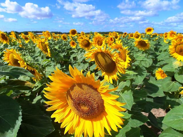 solrosfält i Frankrike